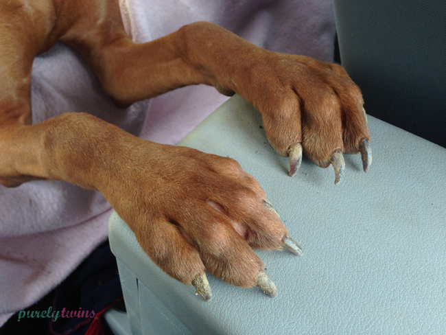 vizsla-paws