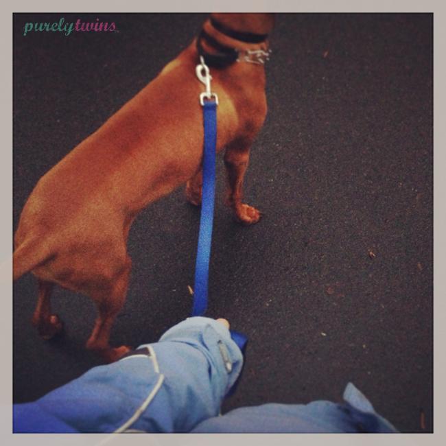 walking-vizsla