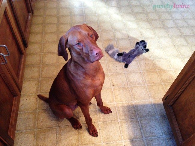 jax-vizsla-waiting