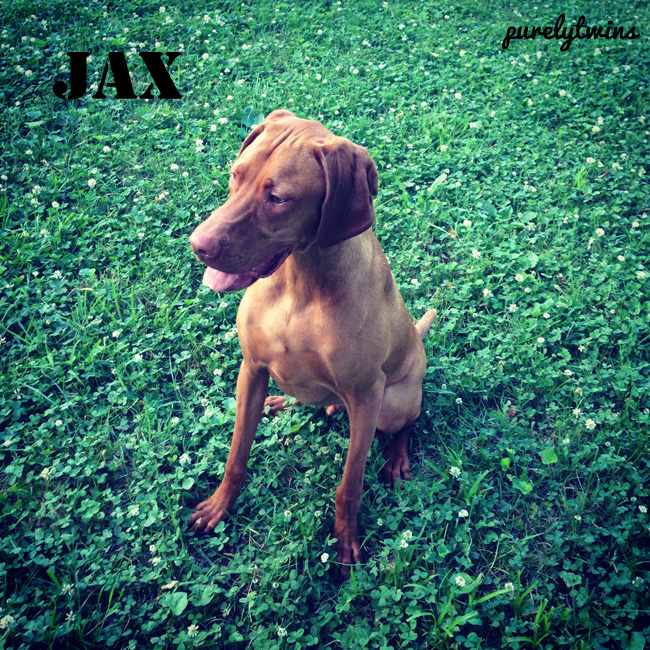 jax the vizsla