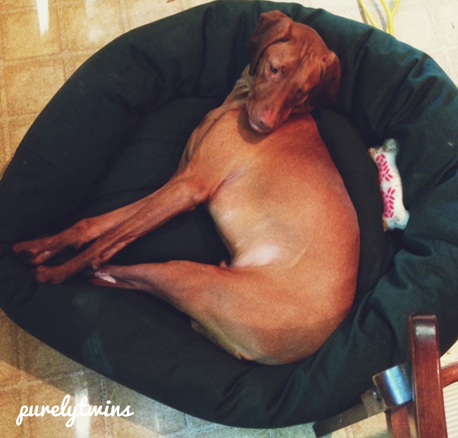 jax vizsla sleeping in bed