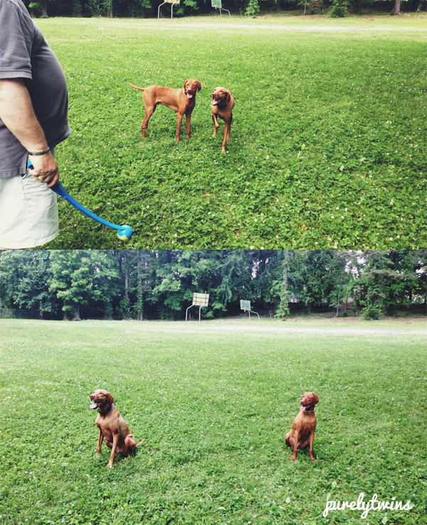 vizslas playing
