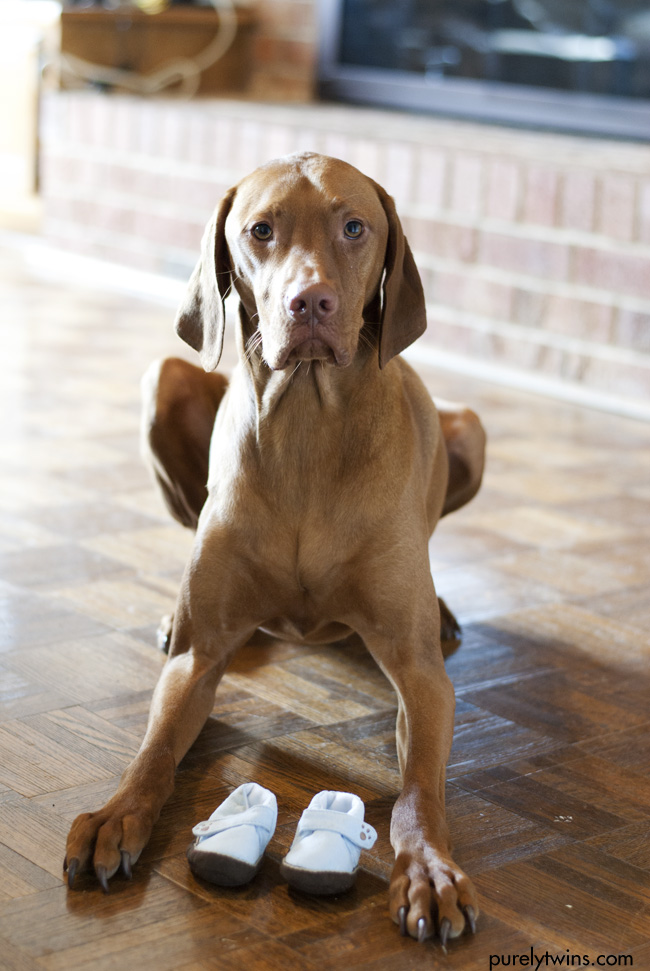 big brother vizsla with baby news