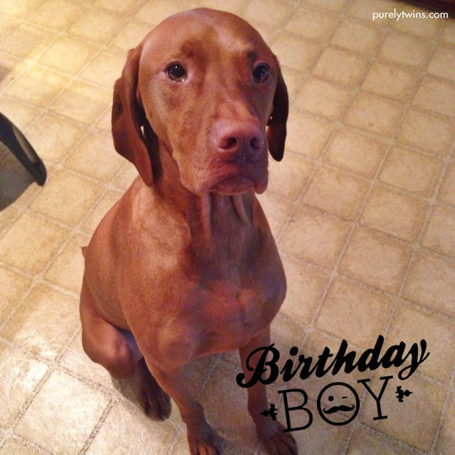 vizsla turning 2