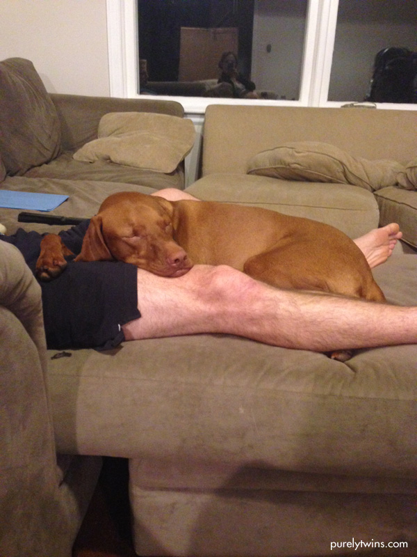 sleeping vizsla on sofa