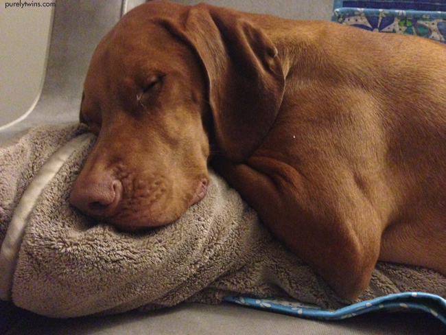vizsla sleeping on nap blanket