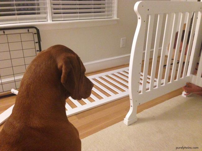 vizsla watching owner build crib