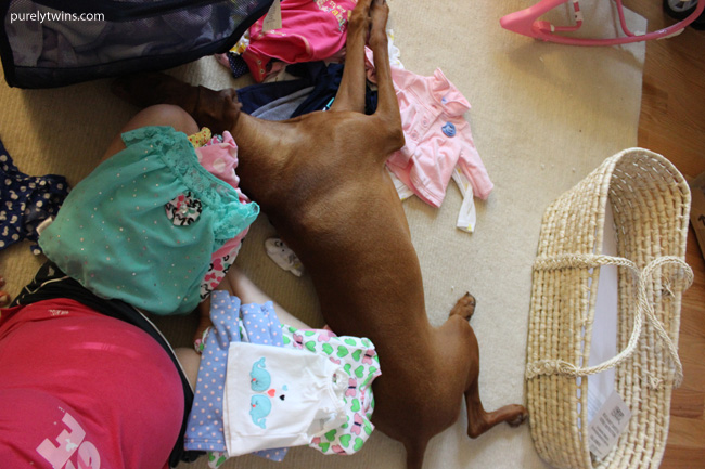 vizsla sleeping on baby clothes