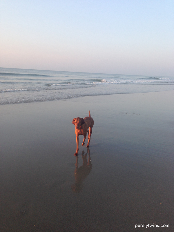 jax my vizsla loving the beach