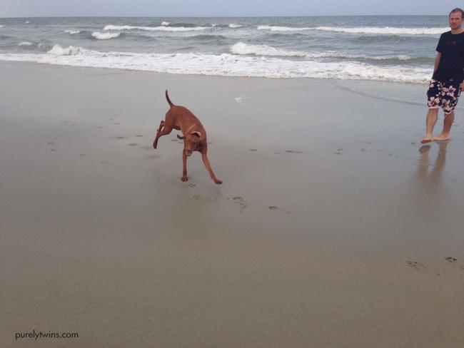 jax on beach vizsla