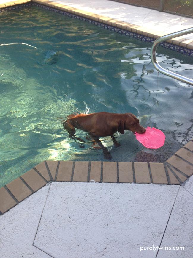 vizsla swimming in pool