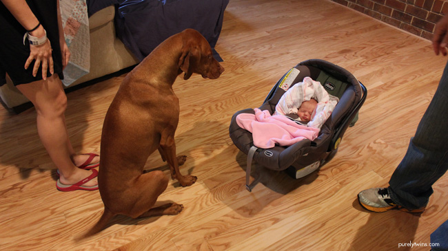 vizsla-meeting-newborn-baby-first-time