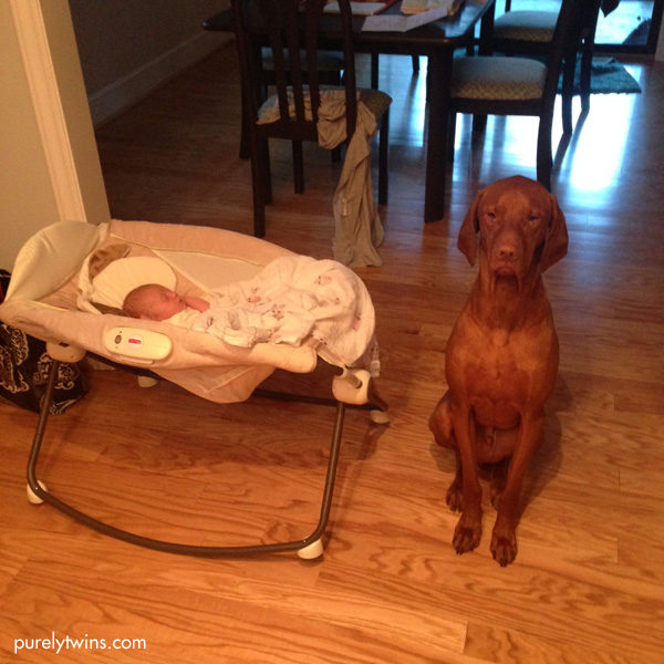 vizsla-babysitting-baby-purelytwins