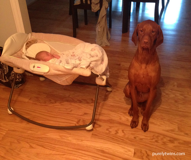 guard-dog-vizsla-baby