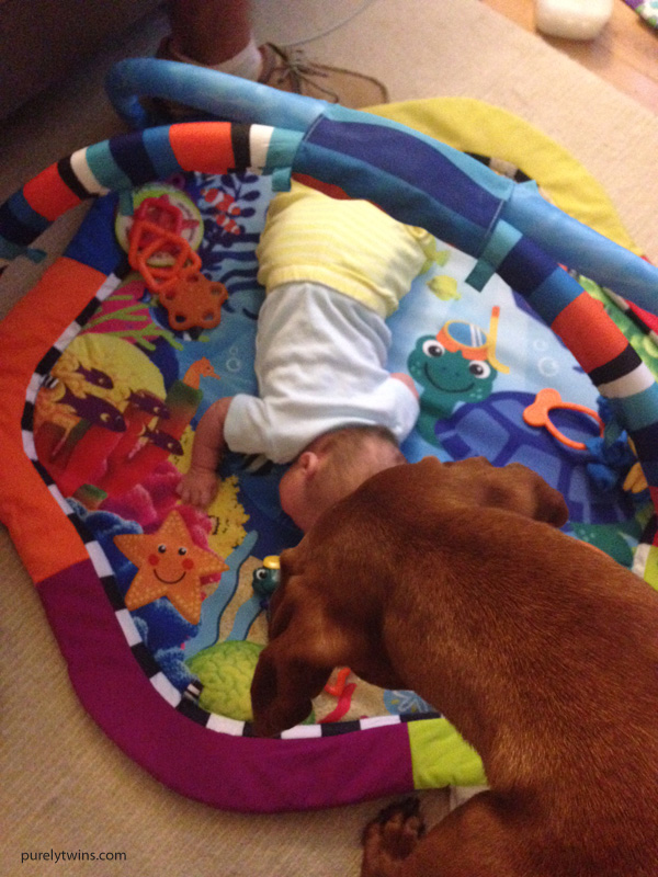 vizsla-playing-with-newborn-baby