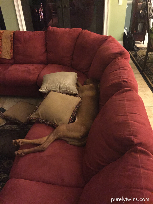 jax-vizsla-sleeping-on-sofa