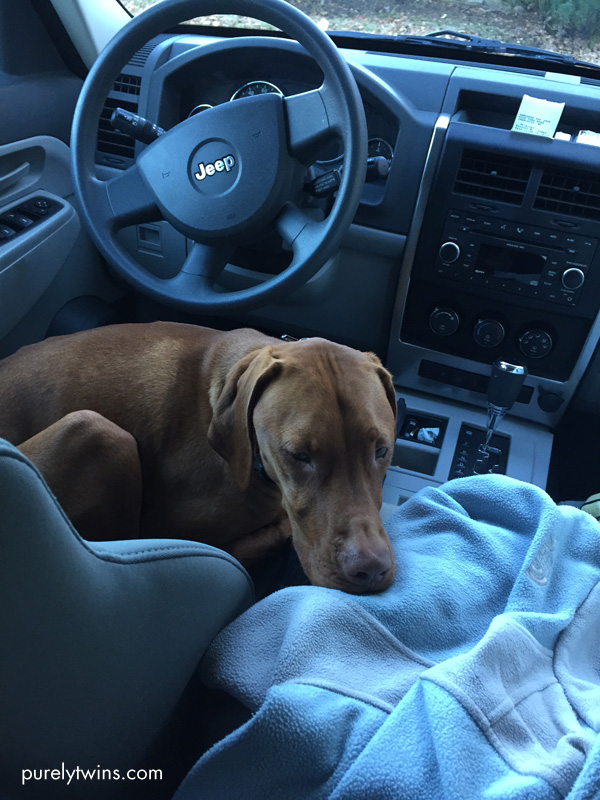 vizsla-sleeping-in-front-seat-of-car