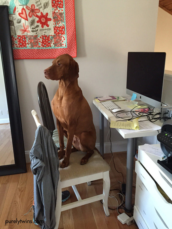 jax-my-vizsla-dog-sitting-on-chair