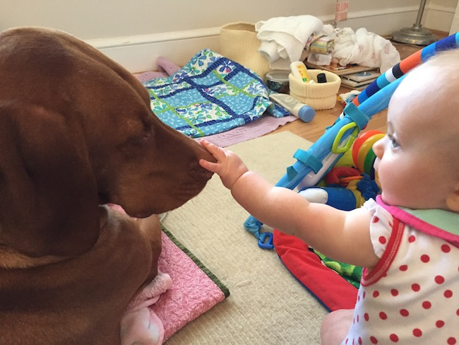 baby-girl-touching-vizsla-dog-nose