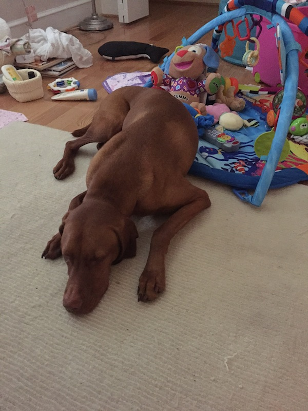 vizsla-sleeping