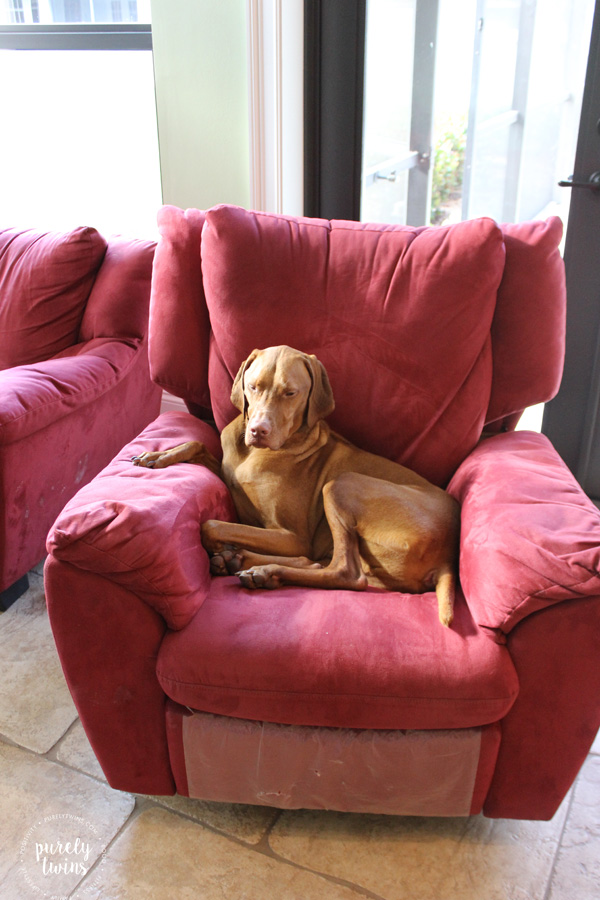 vizsla-sitting-in-chair
