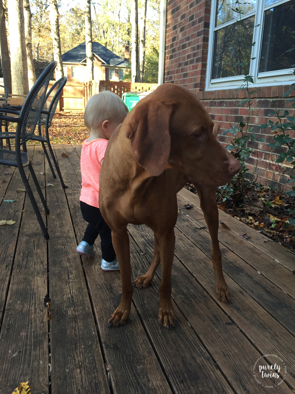 madison-and-jax-a-vizsla-playing-outdoors