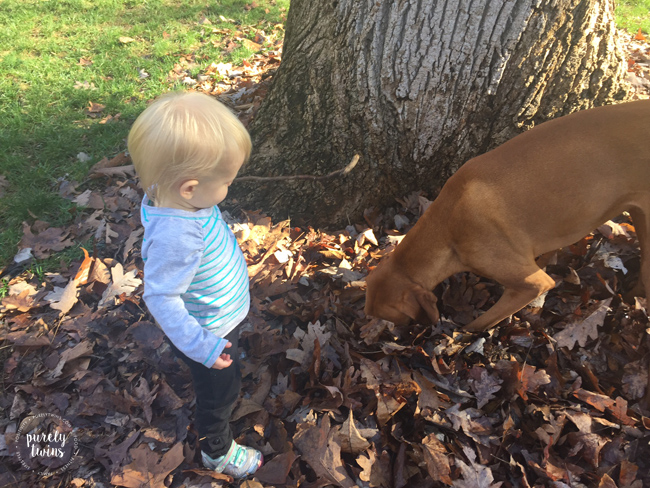 Toddler playing outside in the leaves with her dog a 3 year old vizsla. Vizsla's are great with kids.