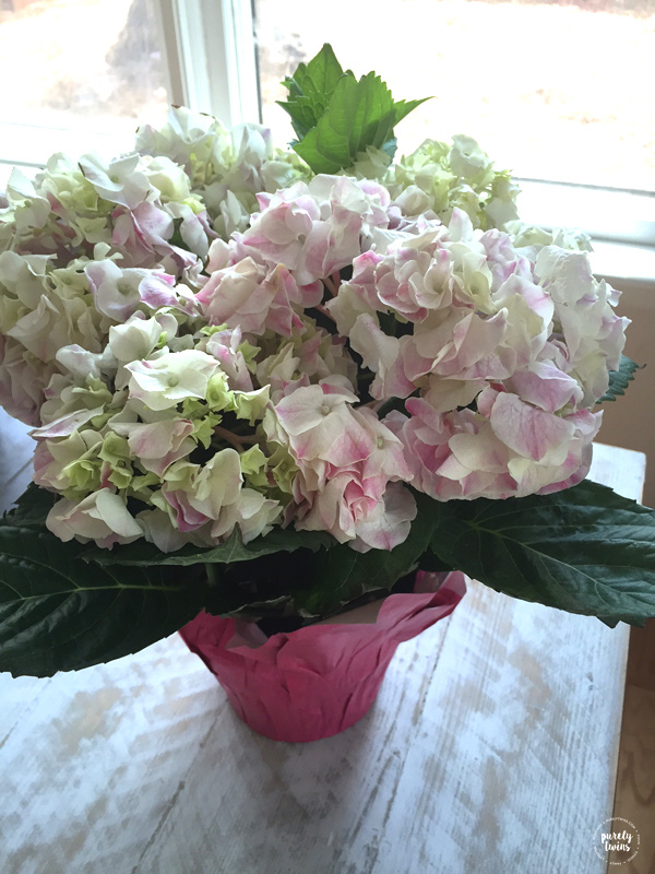 Hydrangeas. Beautiful flowers for Easter.