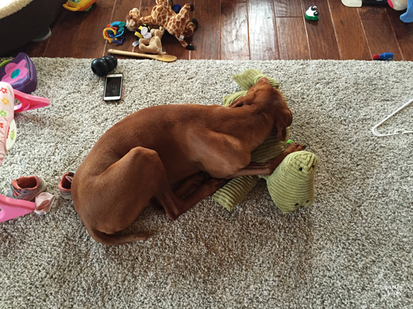 vizsla-sleeping-on-baby-toy