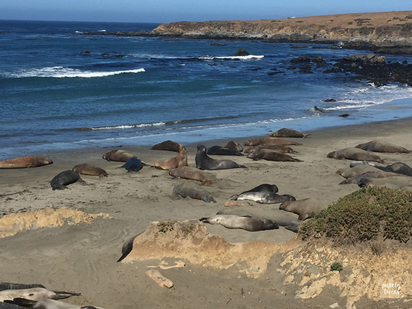 Elephant seals CA coast