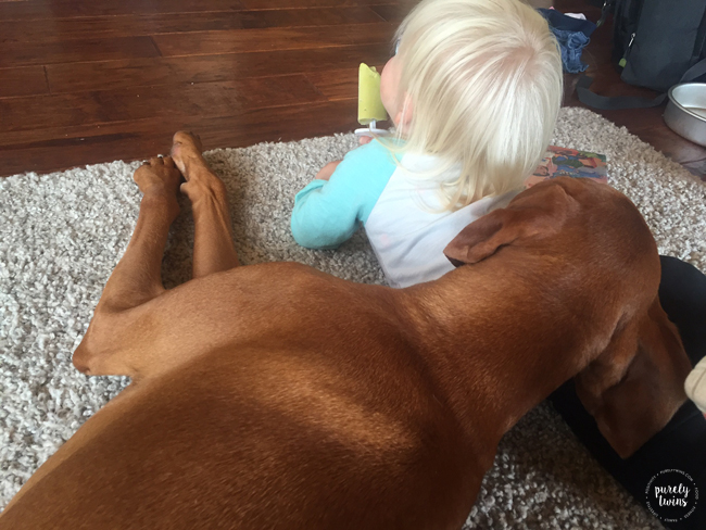 Vizsla resting his head on toddlers back hoping for some food