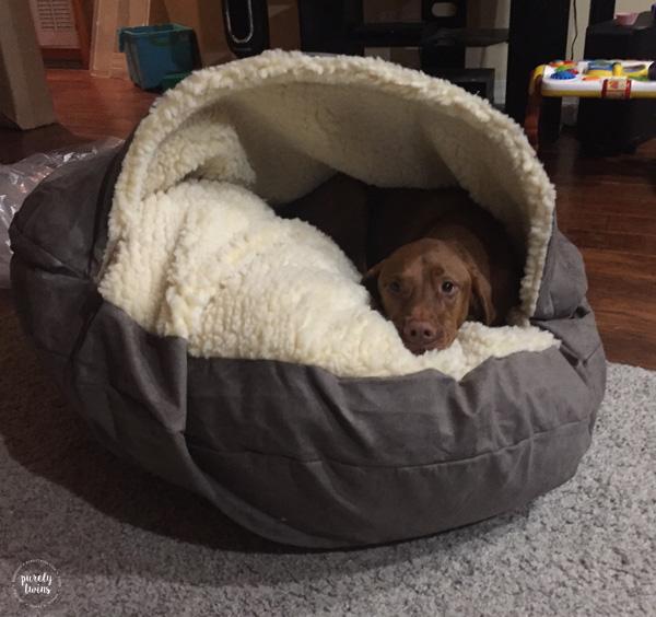 Vizsla in his new Snoozer luxury cozy cave